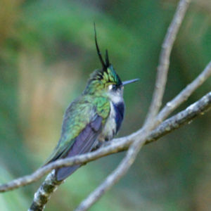 Colibri de Delalande