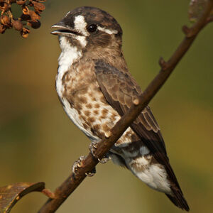 Cotinga d'Isabelle