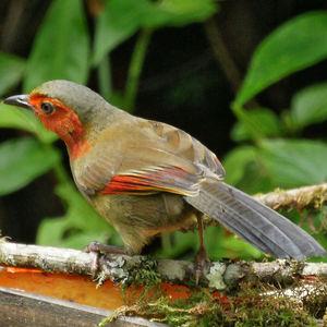 Garrulaxe à ailes rouges