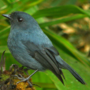 Miro gris-bleu