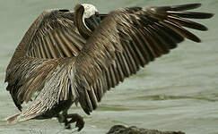 Pélican brun