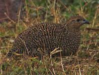 Perdrix de Madagascar