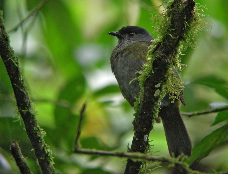 Black and yellow phainoptila phainoptila melanoxantha for Oiseau jaune et noir