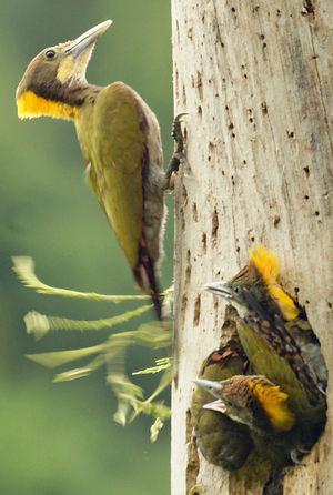 Pic à nuque jaune