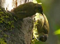 Picumne olivâtre