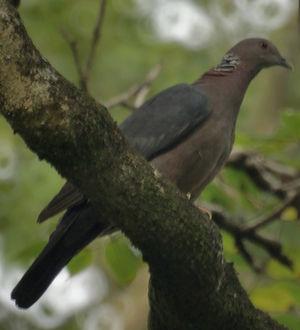 Pigeon de Ceylan