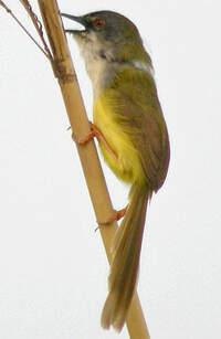 Prinia à ventre jaune