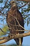 Pygargue de Madagascar
