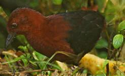 Râle marron