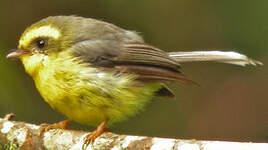 Rhipidure à ventre jaune