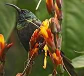 Souimanga bronzé
