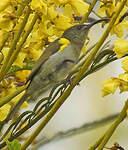 Souimanga olivâtre