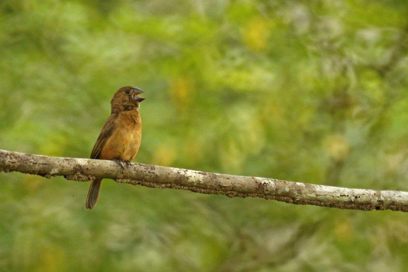 Bellied Finch Chestnut-bellied Seed Finch
