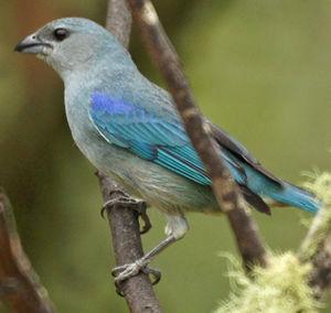 Tangara à épaulettes bleues
