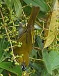 Tangara à gorge jaune