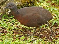 Tinamou brun