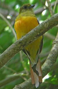 Trogon à poitrine jaune