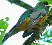 Trogon à ventre orange