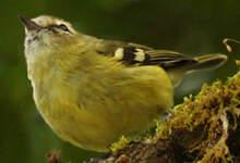 Viréo à ailes jaunes
