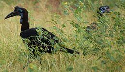Bucorve d'Abyssinie