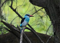 Martin-chasseur à poitrine bleue