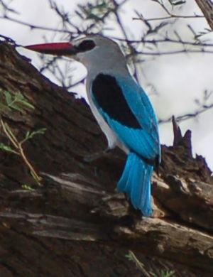 Martin-chasseur du Sénégal