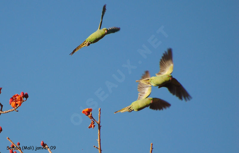 http://www.oiseaux.net/photos/thierry.helsens/images/perruche.a.collier.thhe.7g.jpg