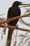Piapiac africain