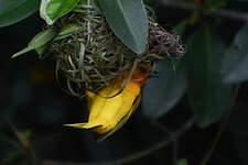 Tisserin orangé