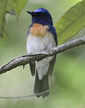 Gobemouche à menton bleu
