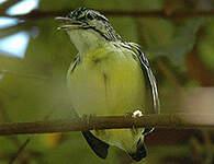 Myrmidon pygmée