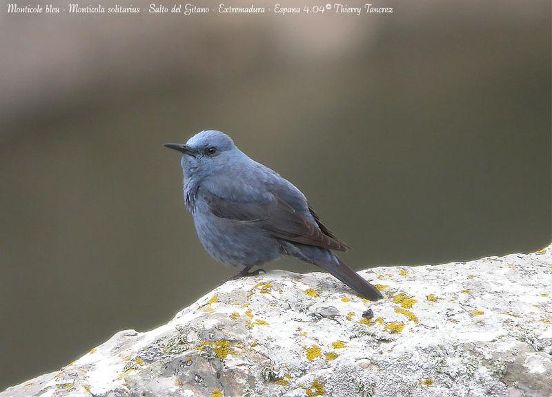 http://www.oiseaux.net/photos/thierry.tancrez/images/monticole.bleu.thta.1g.jpg