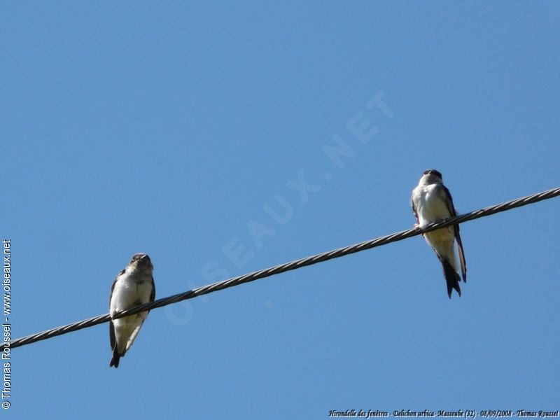 house martin delichon urbicum picture by thomas