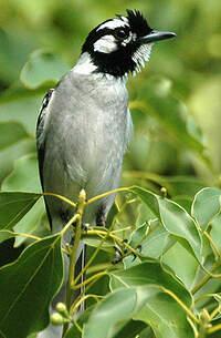 Monarque oreillard
