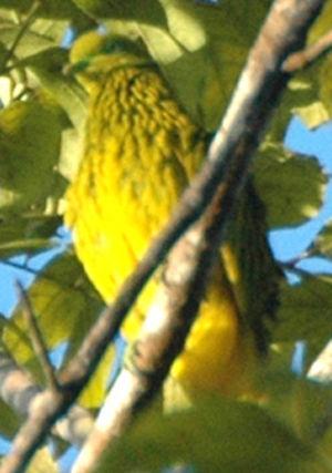 Ptilope jaune