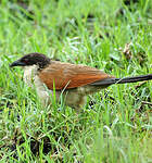 Coucal de Burchell