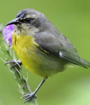 Sucrier ventre jaune photos for Oiseau ventre jaune