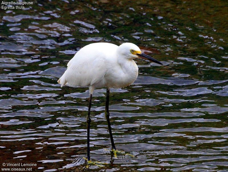 Aigrette neigeuse adulte