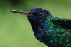 Colibri à tête bleue