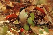 Moqueur gorge-blanche