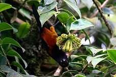 Oriole de la Martinique