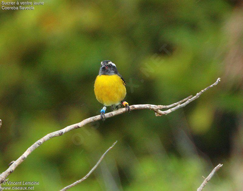 Sucrier ventre jaune adulte ref vile26081 for Oiseau ventre jaune