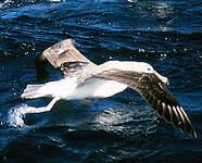 Albatros à cape blanche