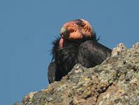 Condor de Californie