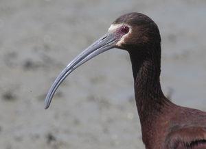 Ibis à face blanche