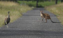 Outarde d'Australie