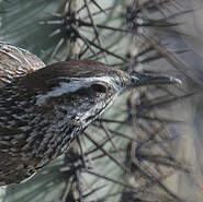Troglodyte des cactus
