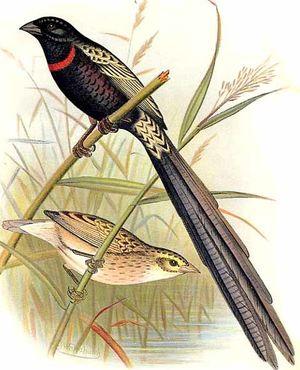 Euplecte veuve-noire
