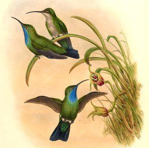 Campyloptère des Santa Marta