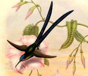 Colibri à queue en ciseaux